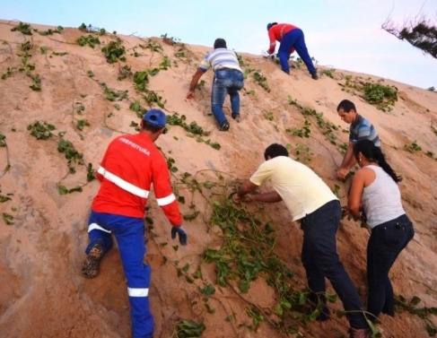 Plantio de ipomea em Atafona