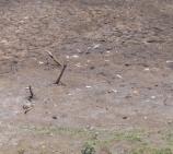 Restos do gado no fundo seco do Brejo de São Gregório - Sta Ana