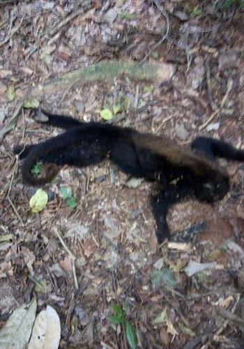Macaco morto em Laje de Muriaé, ano passado