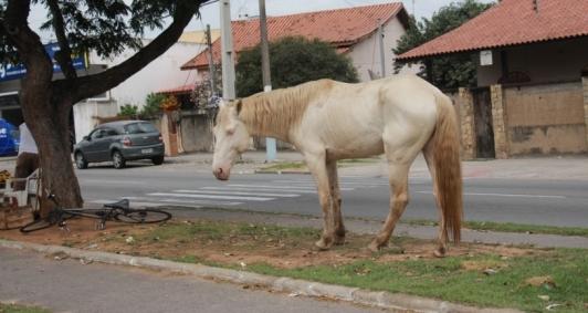 Animais soltos na avenida José Carlos Pereira Pinto