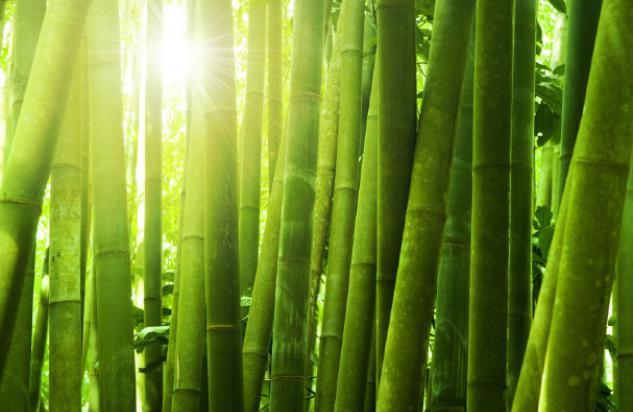 bambus-12343