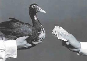 Pagar o pato