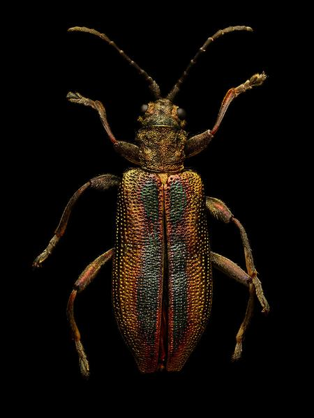 LEVON_BISS_Common-Reed-Beetle_grande