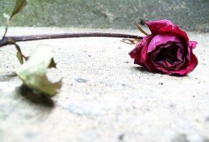 Rosa-Murcha
