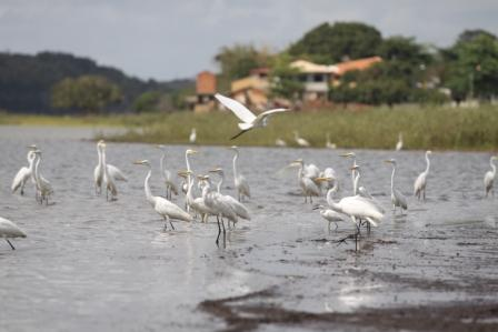 Garças na Lagoa de Cima
