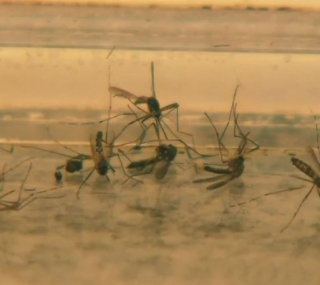 Febre Amarela é transmitida pelos mosquitos Sabethes e Haemagogus