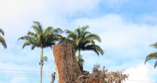 Árvore cortada no Pq. Santo Amaro