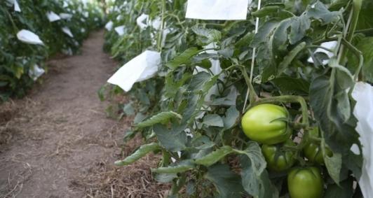 Primeira plantação do Tomatec